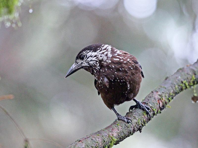 台湾の野鳥㉖ 「ホシガラス」_d0195897_1222753.jpg