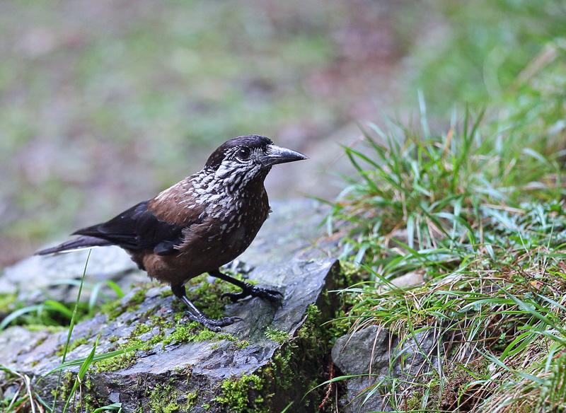 台湾の野鳥㉖ 「ホシガラス」_d0195897_1223710.jpg