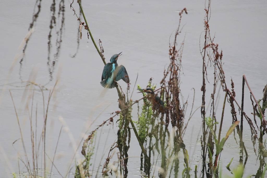 カワセミ若鳥のバトル/HAM用アンテナ修理_b0024798_17451371.jpg