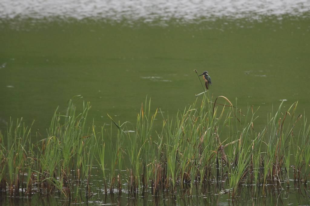 カワセミ若鳥のバトル/HAM用アンテナ修理_b0024798_17472334.jpg