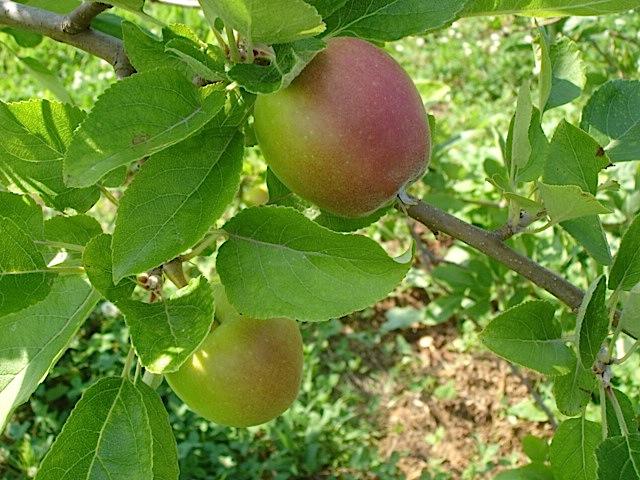 無農薬りんごは今_e0019167_863443.jpg