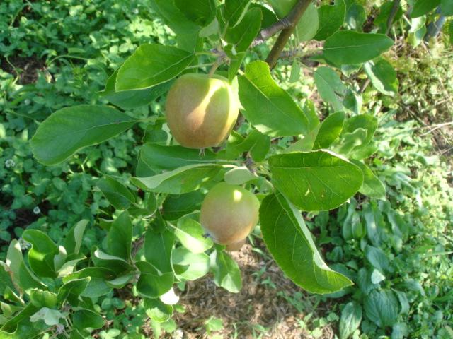 無農薬りんごは今_e0019167_86499.jpg