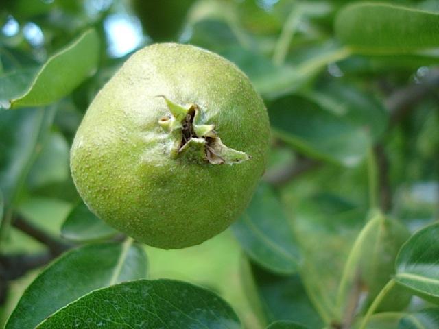 無農薬りんごは今_e0019167_87559.jpg