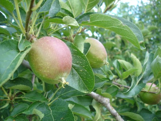 無農薬りんごは今_e0019167_875751.jpg