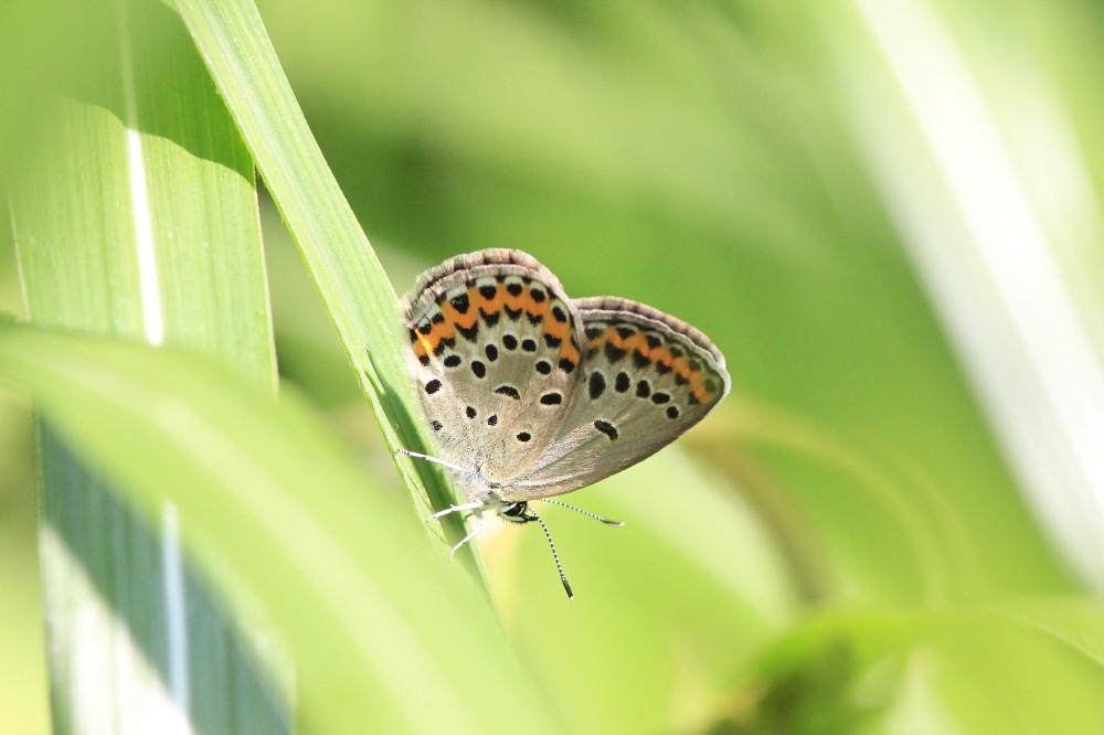 アサマシジミ  群馬県の個体も絶滅危機に。  2012.6.30群馬県_a0146869_5104812.jpg