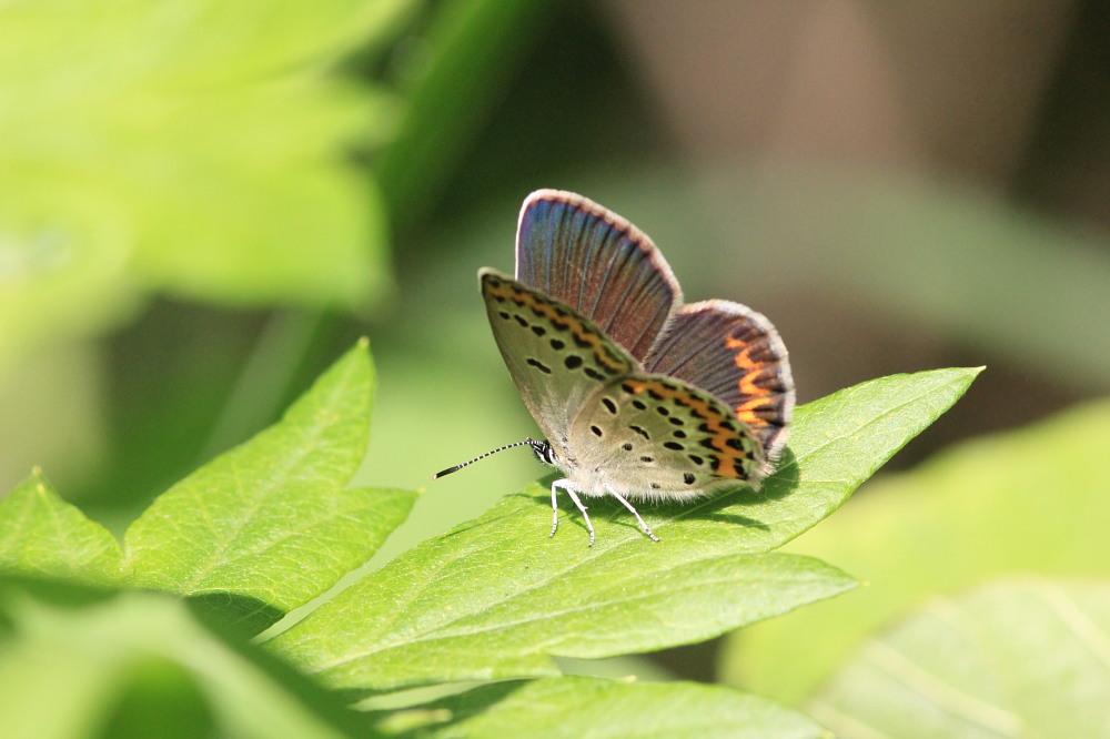 アサマシジミ  群馬県の個体も絶滅危機に。  2012.6.30群馬県_a0146869_511270.jpg
