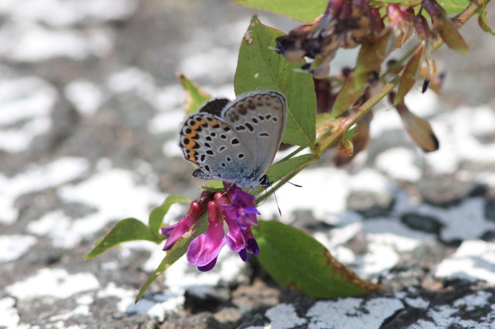 アサマシジミ  群馬県の個体も絶滅危機に。  2012.6.30群馬県_a0146869_5215945.jpg