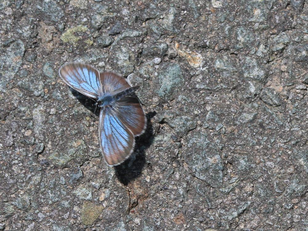 アサマシジミ  群馬県の個体も絶滅危機に。  2012.6.30群馬県_a0146869_5221517.jpg