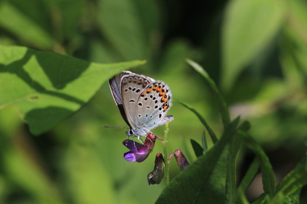 アサマシジミ  群馬県の個体も絶滅危機に。  2012.6.30群馬県_a0146869_527199.jpg
