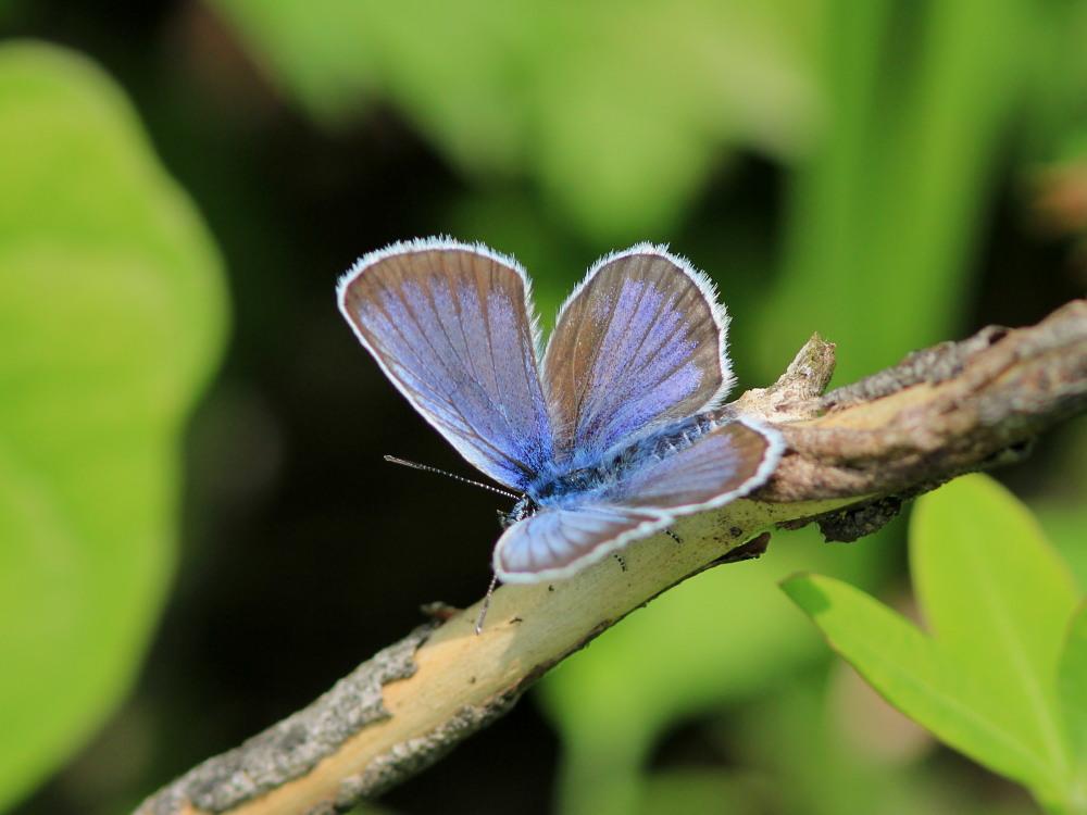 アサマシジミ  群馬県の個体も絶滅危機に。  2012.6.30群馬県_a0146869_5324083.jpg