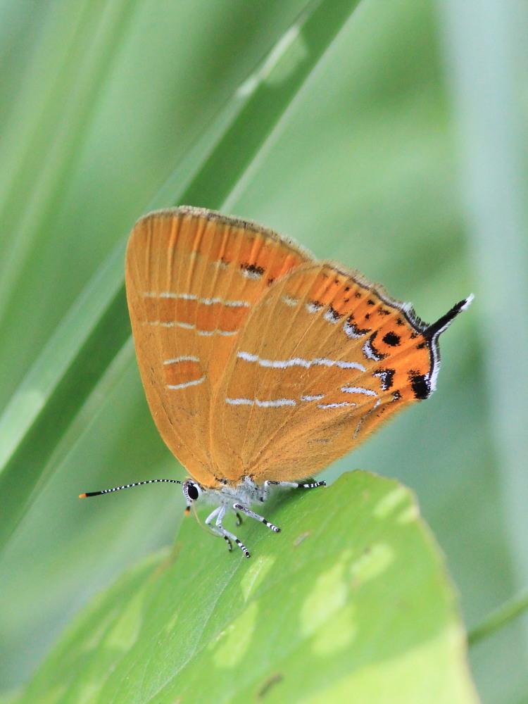 アサマシジミ  群馬県の個体も絶滅危機に。  2012.6.30群馬県_a0146869_544168.jpg