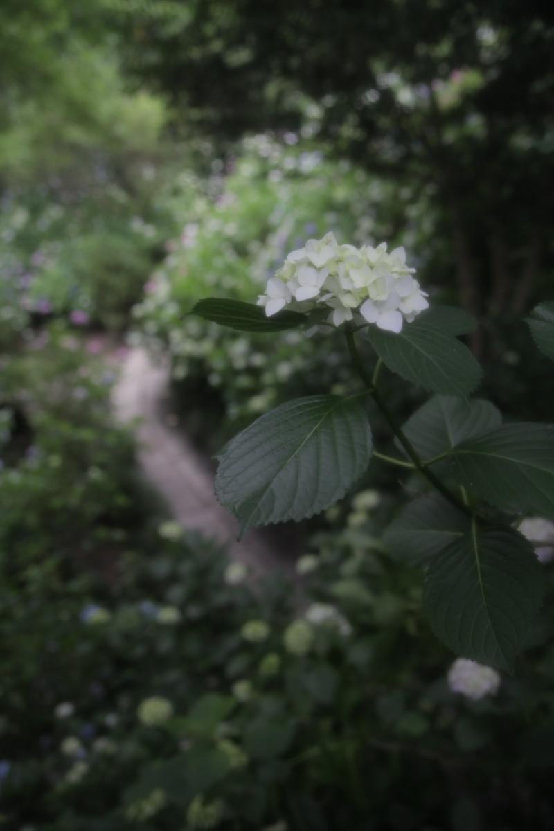 紫陽花 2012 <矢田寺>_f0021869_001614.jpg