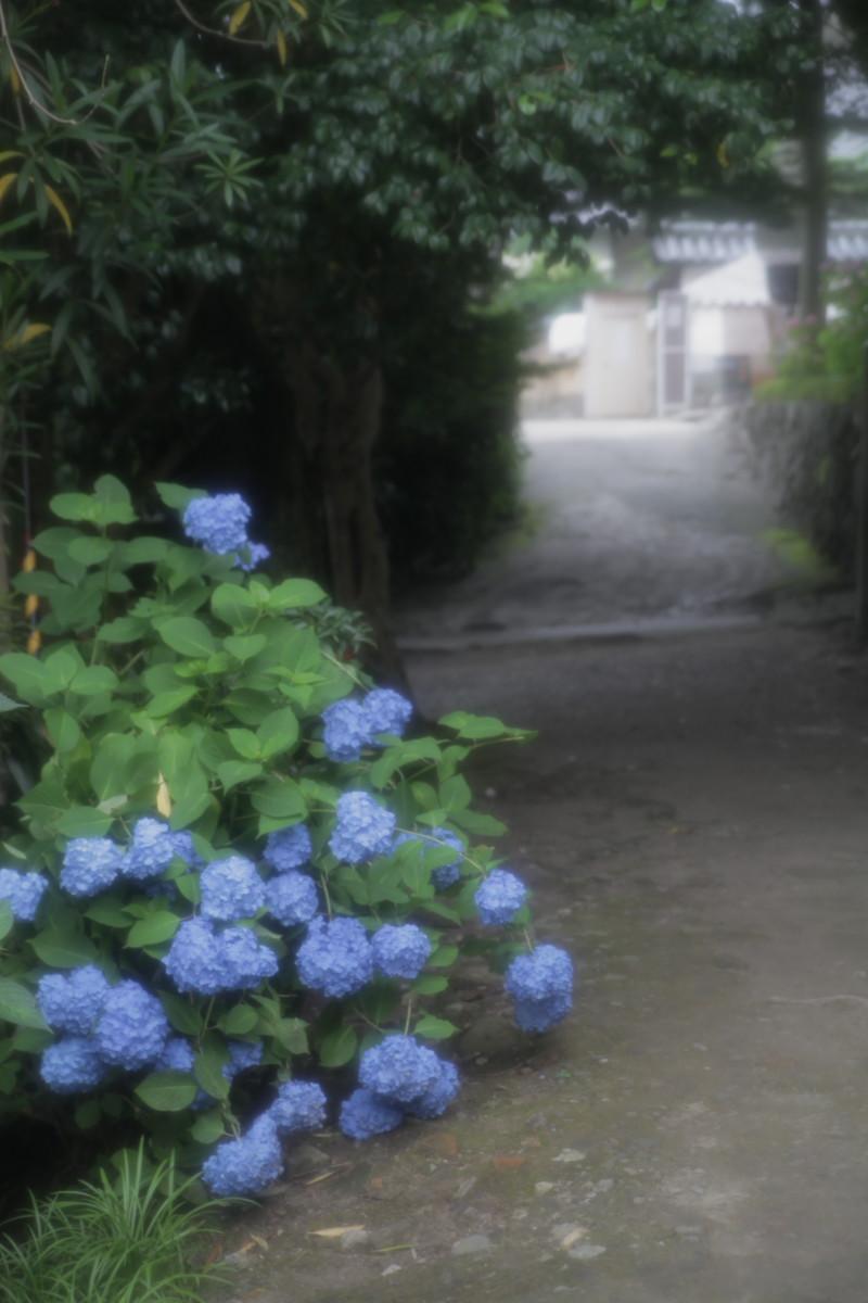 紫陽花 2012 <矢田寺>_f0021869_2358029.jpg