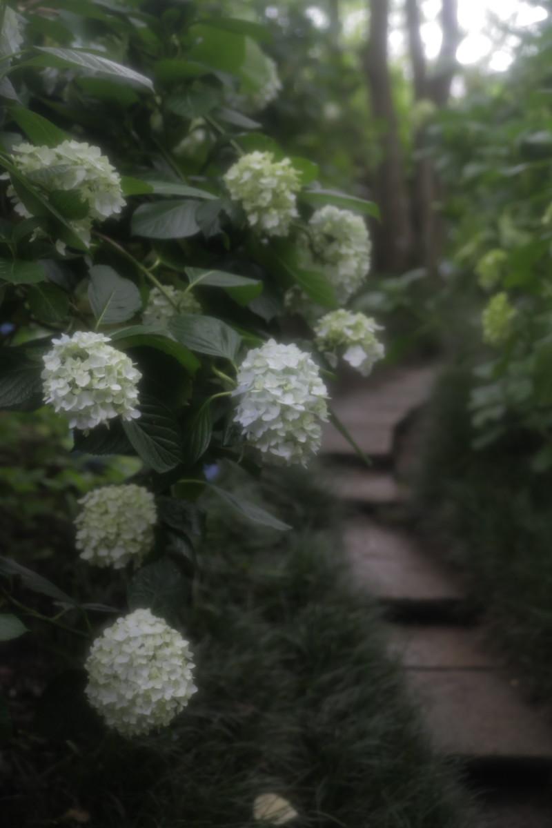 紫陽花 2012 <矢田寺>_f0021869_23593830.jpg