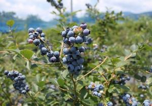 ブルーベリーの季節です_c0171849_165295.jpg