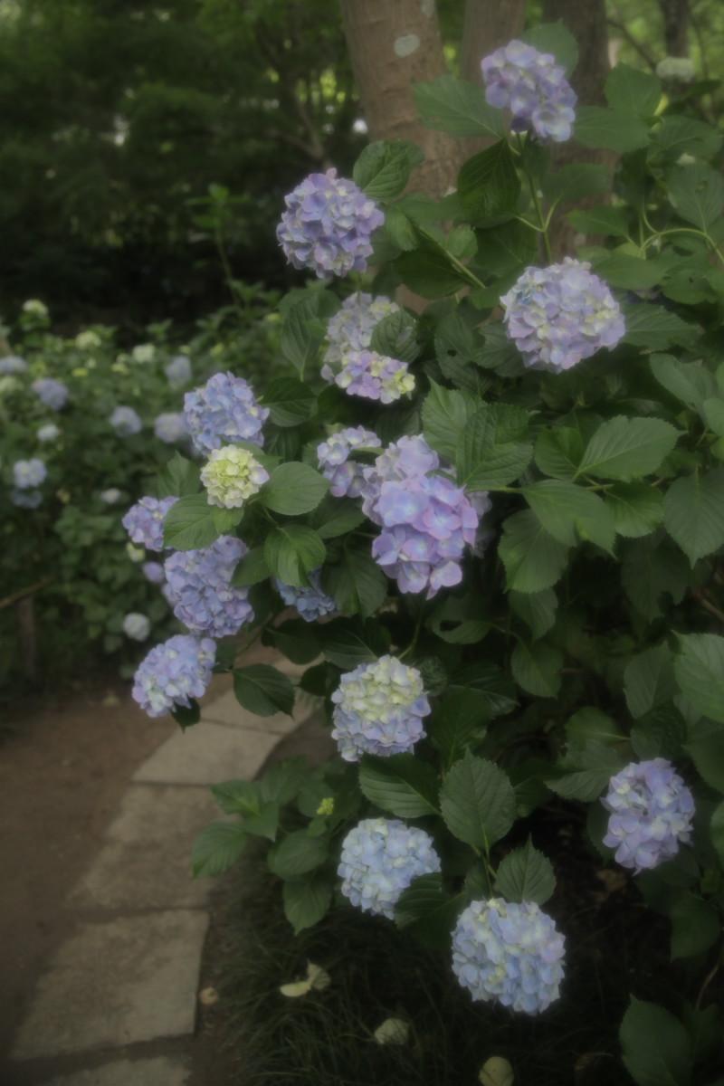 紫陽花 2012 <矢田寺>_f0021869_02822.jpg