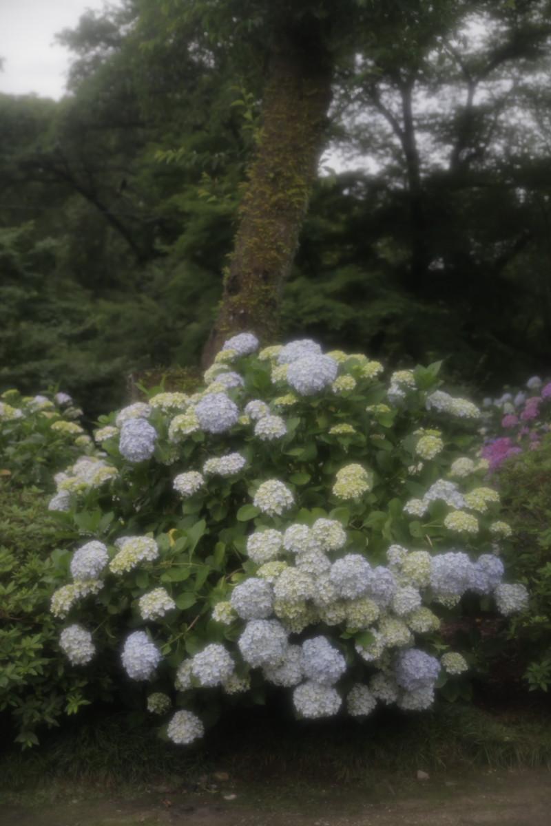 紫陽花 2012 <矢田寺>_f0021869_035487.jpg