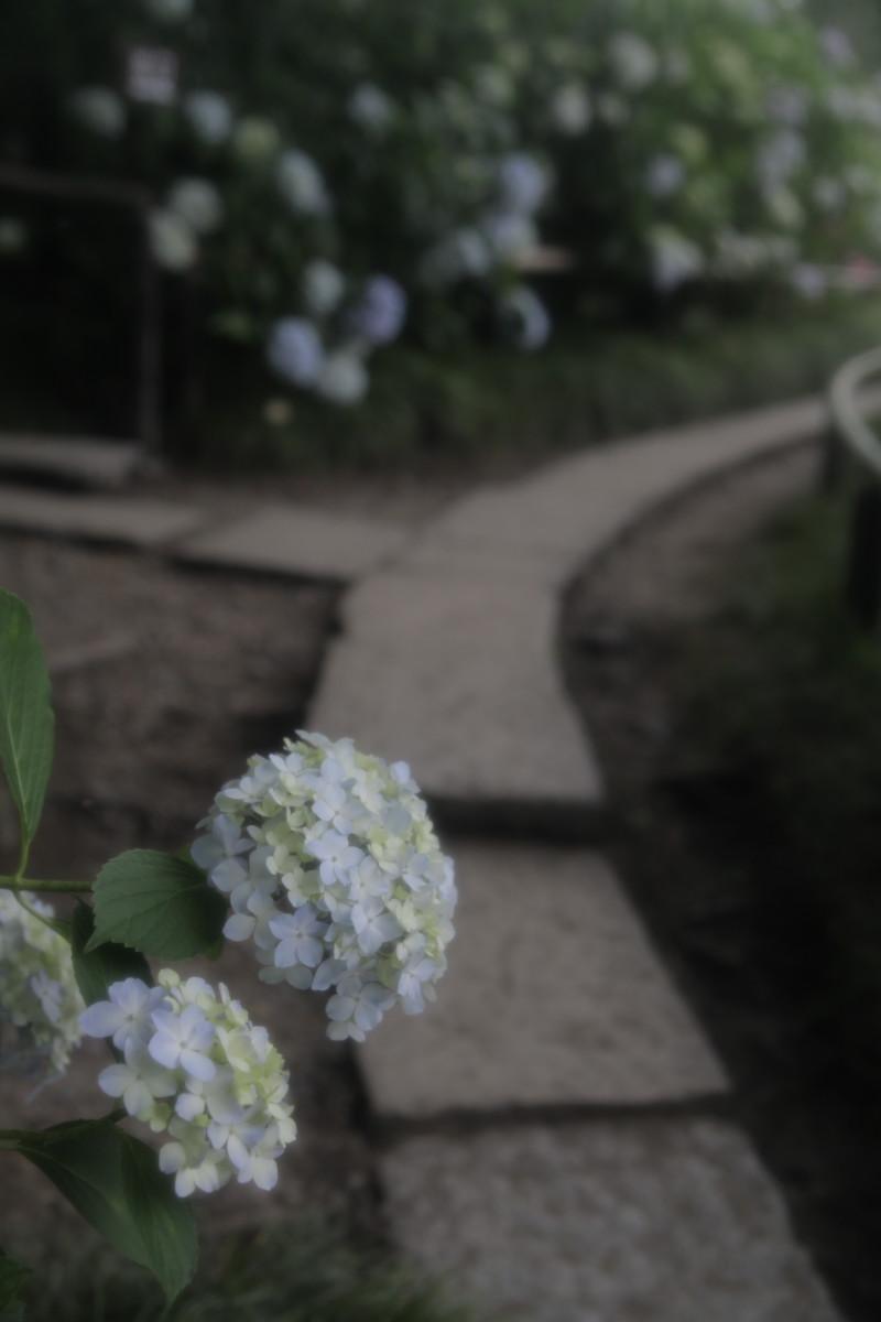 紫陽花 2012 <矢田寺>_f0021869_03785.jpg