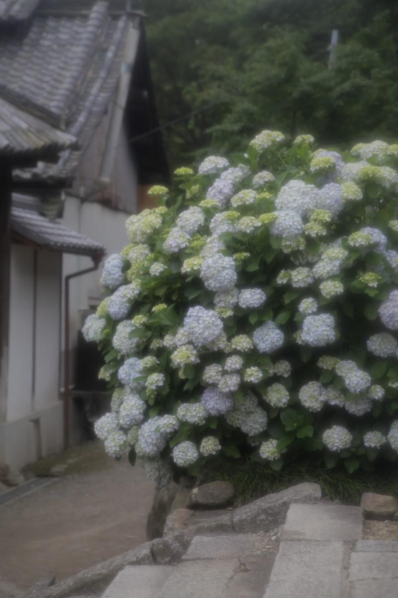 紫陽花 2012 <矢田寺>_f0021869_044598.jpg