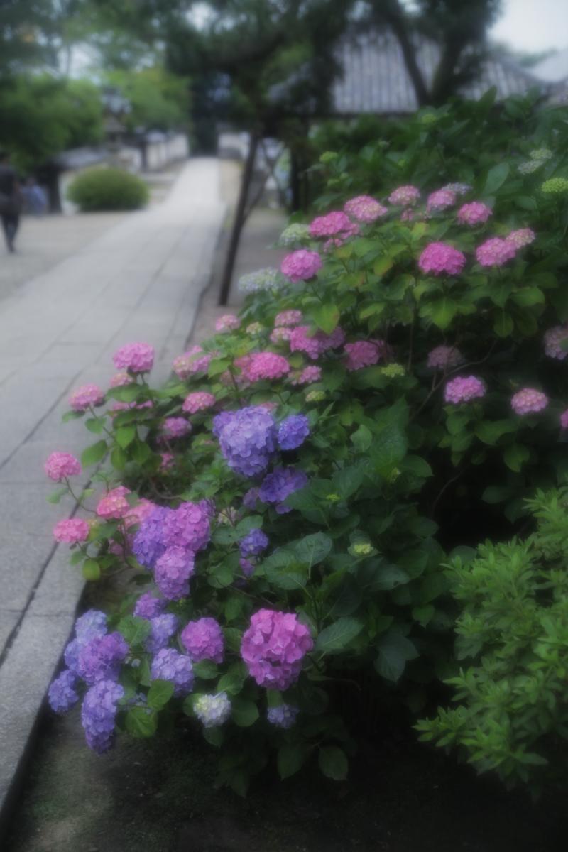 紫陽花 2012 <矢田寺>_f0021869_055253.jpg