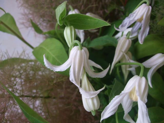 オークリーフ(クレマチスの花束)_f0049672_14243199.jpg