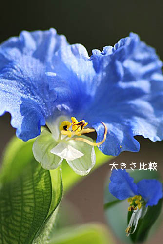 オオボウシが咲きました。斑入りドクダミ_f0030085_19495829.jpg