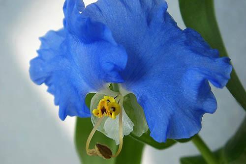 オオボウシが咲きました。斑入りドクダミ_f0030085_1949715.jpg