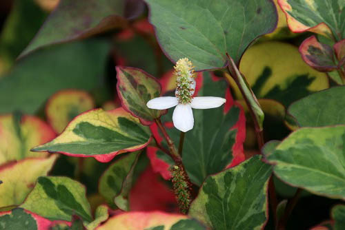 オオボウシが咲きました。斑入りドクダミ_f0030085_19532734.jpg