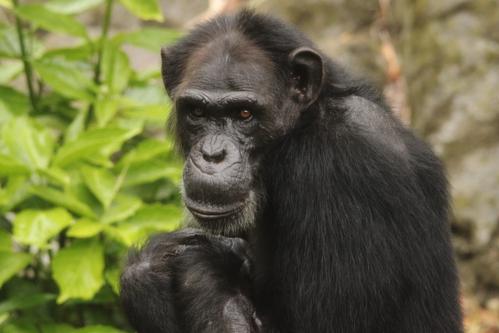 チンパンジーの画像 p1_34