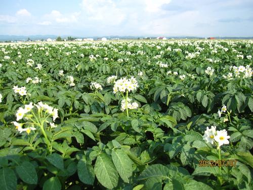 ジャガイモの花 満開_f0231042_153953100.jpg