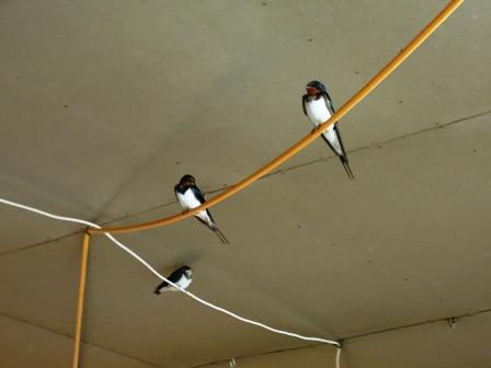 燕がそろそろ巣立ち頃_b0126098_21422947.jpg
