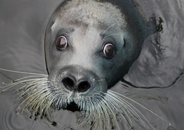 アゴヒゲアザラシがオオカワウソに似てたなんて・・・。(2012.7.8 ... おたる水族館 ア