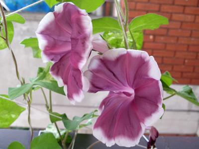また別のアサガオが開花しました_f0108133_5551062.jpg