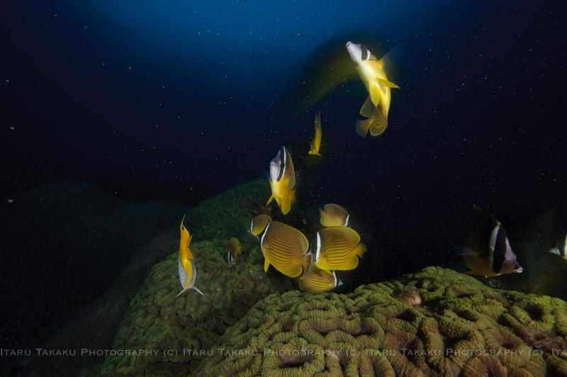 ネッタイミノカサゴ産卵!サンゴも少し産卵。_b0186442_21584345.jpg