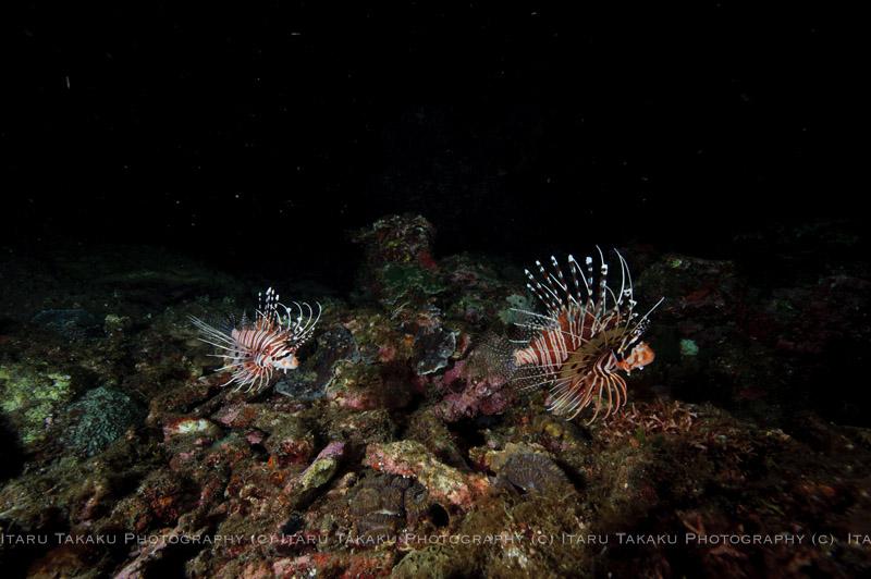 ネッタイミノカサゴ産卵!サンゴも少し産卵。_b0186442_21591524.jpg