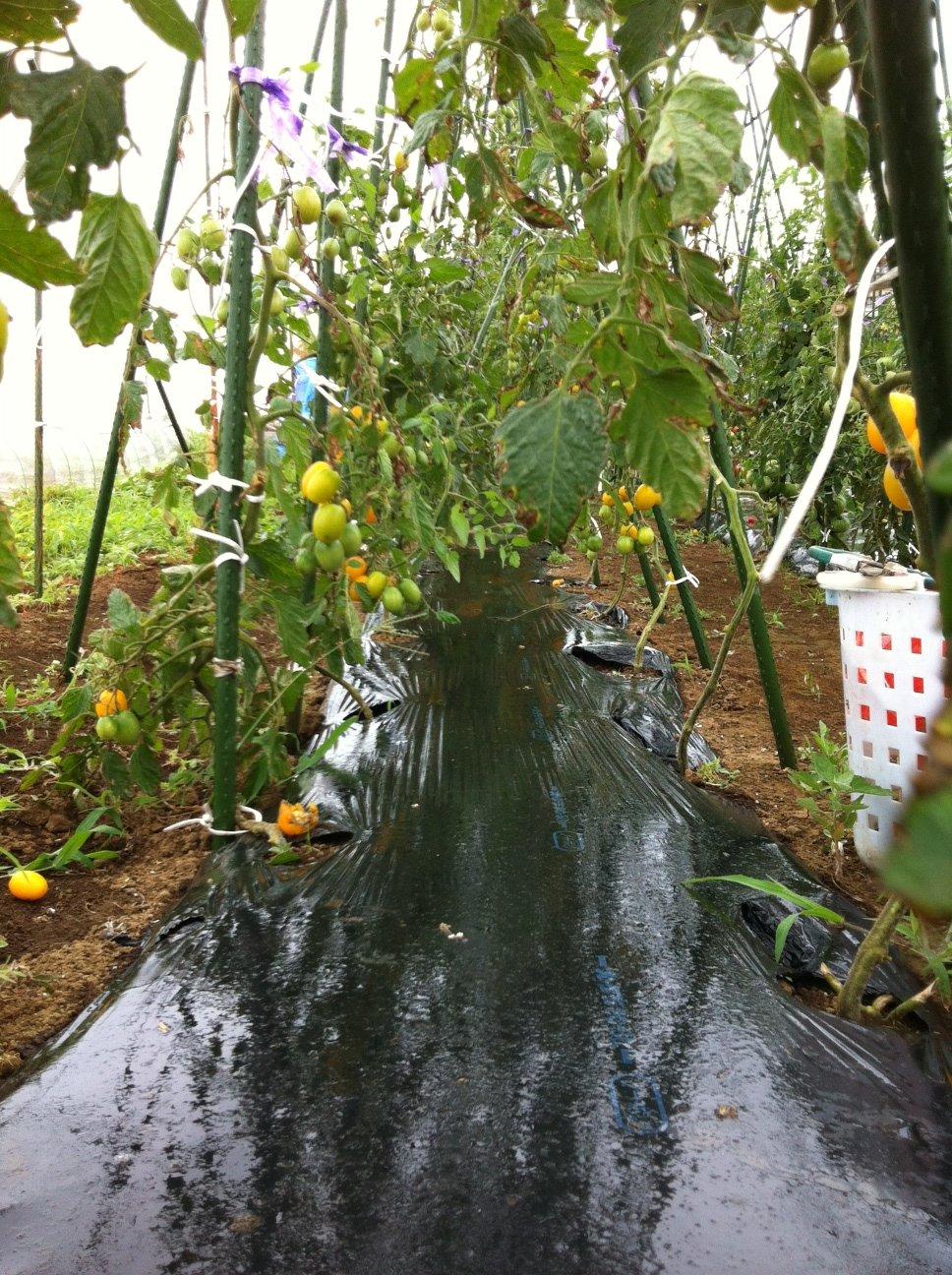 本日は強風の上に雨・・ボランティアの方々にはお休み頂きました・しかし収穫は物凄くありました_c0222448_13242179.jpg