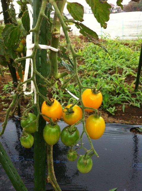 本日は強風の上に雨・・ボランティアの方々にはお休み頂きました・しかし収穫は物凄くありました_c0222448_1324565.jpg