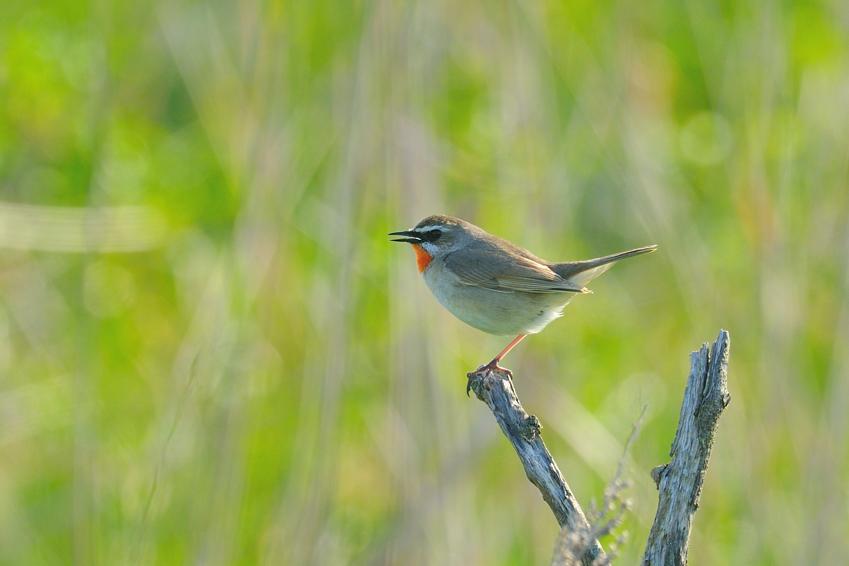 ベニマシコ(Long-tailed Rose Finch) ~2012.06_b0148352_19103160.jpg