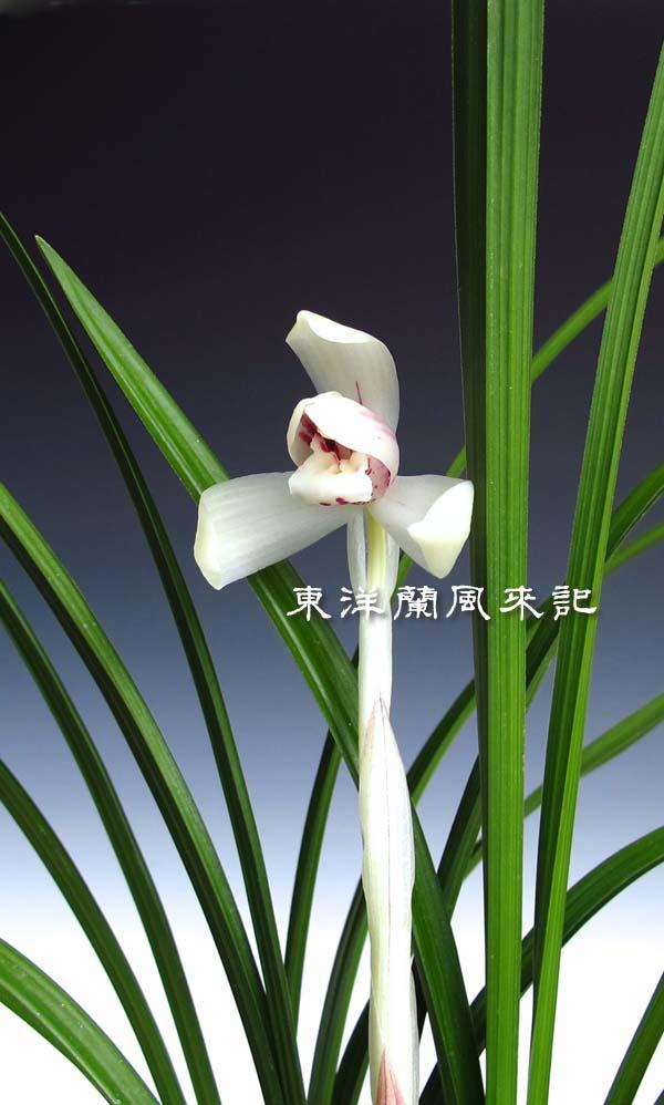 日本春蘭「白蓮」                    No.453_b0034163_2133577.jpg