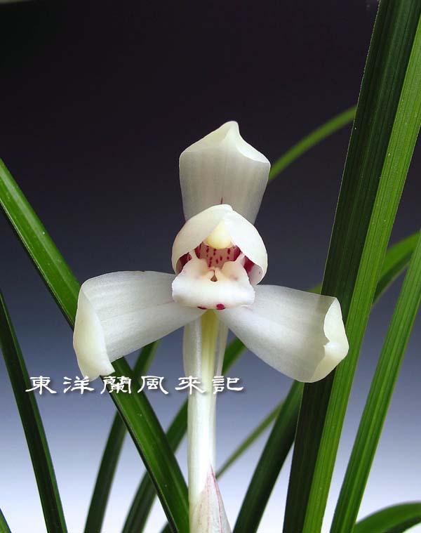 日本春蘭「白蓮」                    No.453_b0034163_2134715.jpg