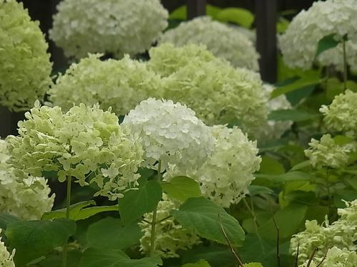 夏の白い花_b0105897_133229.jpg