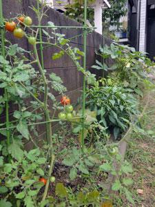 庭の収穫物_d0166197_912183.jpg