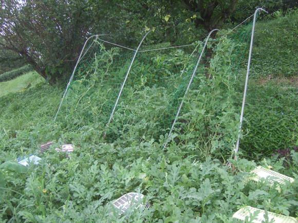 スイカの収穫時期...音で確認_b0137932_13441742.jpg