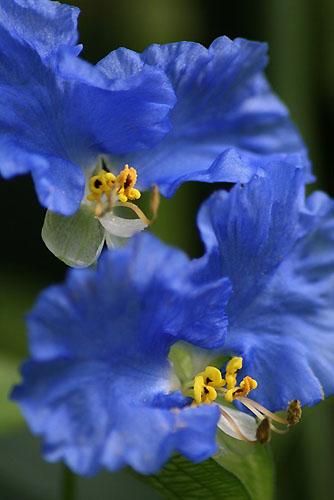 ボタンクサギに蝶。クサボタンとベランダの花_f0030085_20113751.jpg