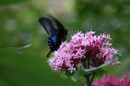 ボタンクサギに蝶。クサボタンとベランダの花_f0030085_2032933.jpg