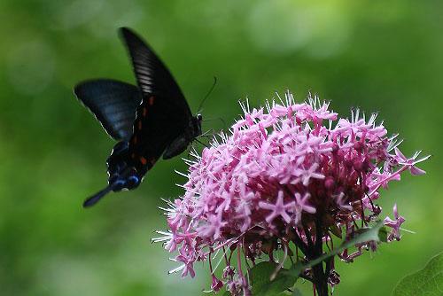 ボタンクサギに蝶。クサボタンとベランダの花_f0030085_2034724.jpg