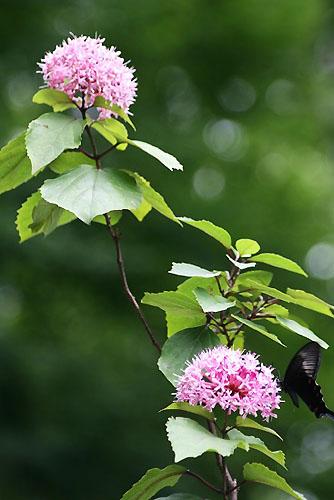 ボタンクサギに蝶。クサボタンとベランダの花_f0030085_2063661.jpg