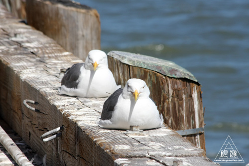 241 Alcatraz Island ~お目当ては野鳥~_c0211532_18153222.jpg