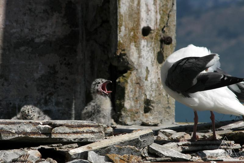 241 Alcatraz Island ~お目当ては野鳥~_c0211532_1817094.jpg