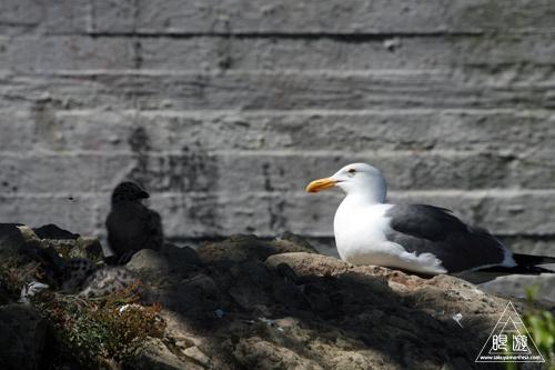 241 Alcatraz Island ~お目当ては野鳥~_c0211532_18201926.jpg